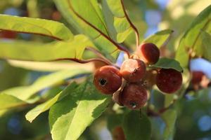 Holzapfelfrüchte mit Makrodetails