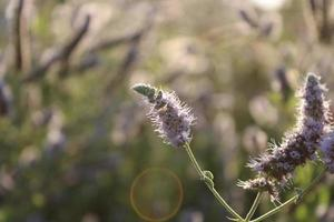 Lavendelpflanze im Frühjahr mit Makrodetails foto