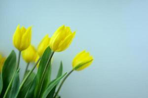 gelbe Blüte Tulpenblumen mit hellblauem Farbhintergrund