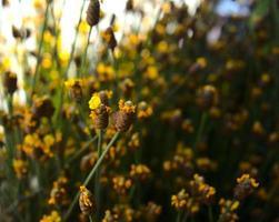 gelbe Wildblumen mit Bokeh