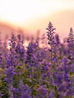 Lavendel bei Sonnenuntergang foto