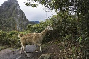 Lama bei Machu Picchu in Peru