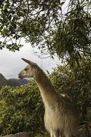 Lama bei Machu Picchu in Peru foto