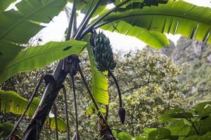 Blick auf die Bananenplantage foto