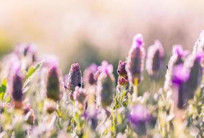 Nahaufnahme von Lavendel foto