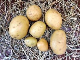 Kartoffeln auf einem Heu- oder Strohhintergrund foto
