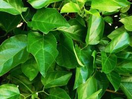 grüne Blätter im Gebüsch foto