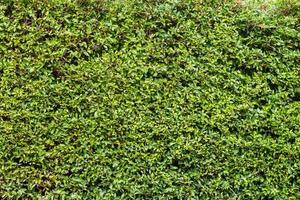 grüner Blätterwandhintergrund foto