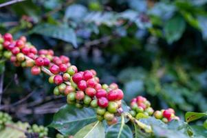 unreife Kaffeebohnen auf einem Baum foto