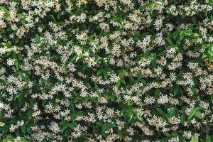 weiße Blüten zwischen grünen Blättern von Sternjasmin