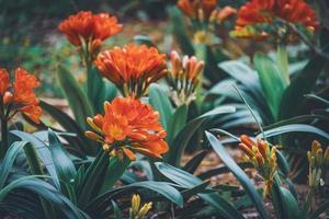 Blüten und Knospen der Buschlilie foto
