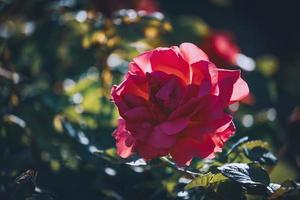 dunkelrosa Rose in voller Blüte foto