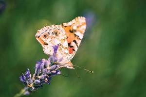 Schmetterling auf Lavendel foto
