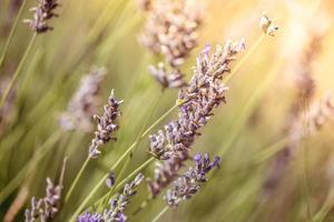 Lavendel Blumen Nahaufnahme foto