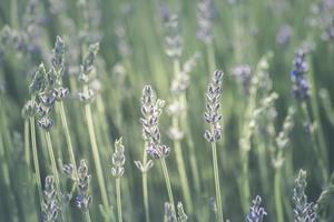 verschwommenes Lavendelfeld foto