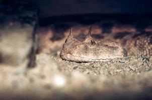 gehörntes Viperschlangenporträt foto