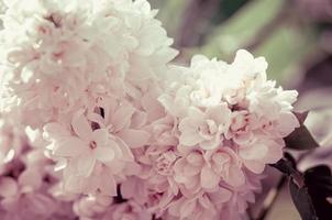 Zweig der weißen lila Blüten