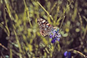 Schmetterling, der auf Lavendelspitze im Rasen sitzt foto