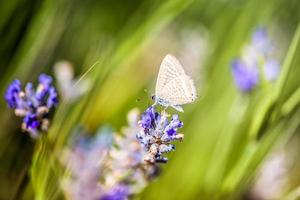Schmetterling zwischen Lavendelblüten und Stielen foto