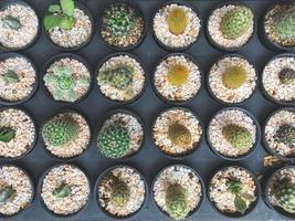 Draufsicht auf Kaktuspflanzen, die in Töpfen wachsen foto