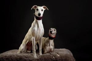 ein Hundeporträt von zwei Whippet-Hunden auf schwarzem Hintergrund foto
