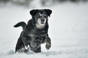 schwarzer glücklicher Hund, der im Schnee läuft