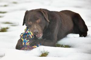 Porträt des niedlichen lustigen Schokoladenlabradors, der im Schnee spielt foto