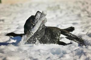 Porträt des niedlichen schwarzen Labradorhundes, der mit Stock im Schnee spielt foto