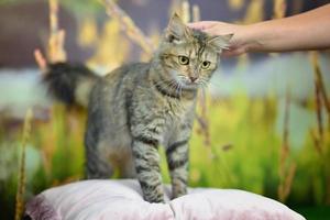süße kleine getigerte Katze foto