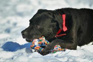 Porträt des niedlichen schwarzen Labradorhundes, der im Schnee spielt foto
