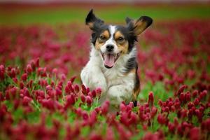 erstaunlicher dreifarbiger Hund, der im blütenroten Klee läuft foto