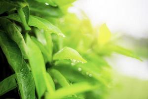 grüne Blätter in der Regenzeit foto