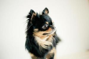 Hund, der mit einem weißen Hintergrund steht foto