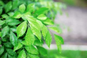 Baumblätter in der Regenzeit foto