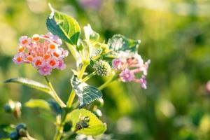 Nahaufnahme von Lantana-Blüten am Morgen foto