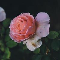 schöne rosa Rosenblume in der Frühlingssaison foto