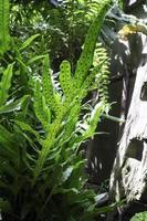 schöne grüne Farnblätter foto