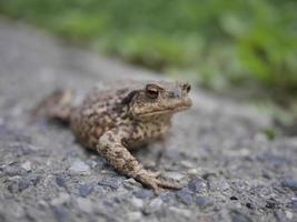 Nahaufnahme von Frosch oder Kröte, die in die Kamera schauen foto