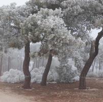 Ein gefrorener Kiefernwald an einem Wintermorgen in Castilla