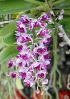 Nahaufnahme von Orchideenblüten