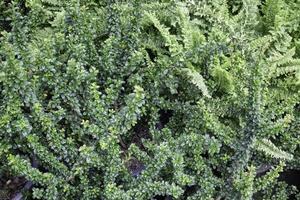 schöne grüne Bodendeckerpflanzen foto
