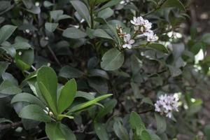 schöne grüne Blätter und Jasminblüten foto