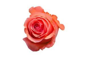 Rose isoliert auf einem weißen Hintergrund foto