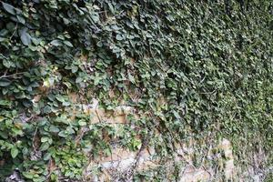 Efeu bedeckte Backsteinmauer foto