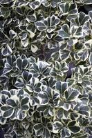Efeugrüne Pflanzen foto