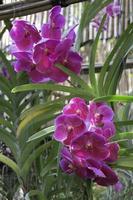 lila Orchideenblume