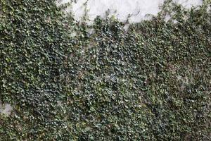 Efeu wächst eine Wand auf foto