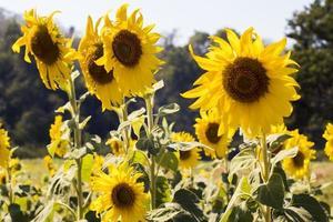 Sonnenblumenfeldlandschaft in Thailand foto