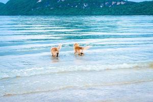 Golden Retriever Hunde, die sich entspannen und im Meer spielen foto