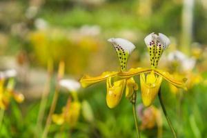 gelbe Orchideen in einem Garten
